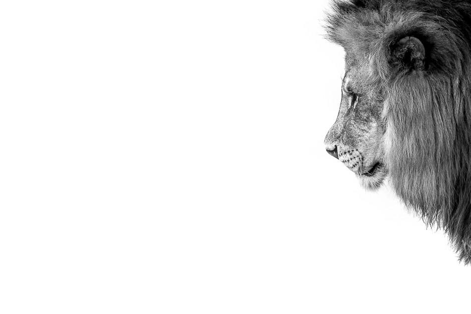 (HE Lion - Francesco Formisano)